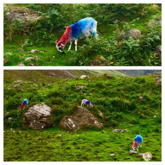 Killer Sheeps Parque Nacional de Killarney