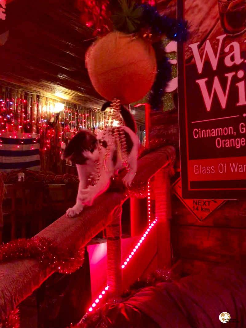 Gato en Pub de Estambul