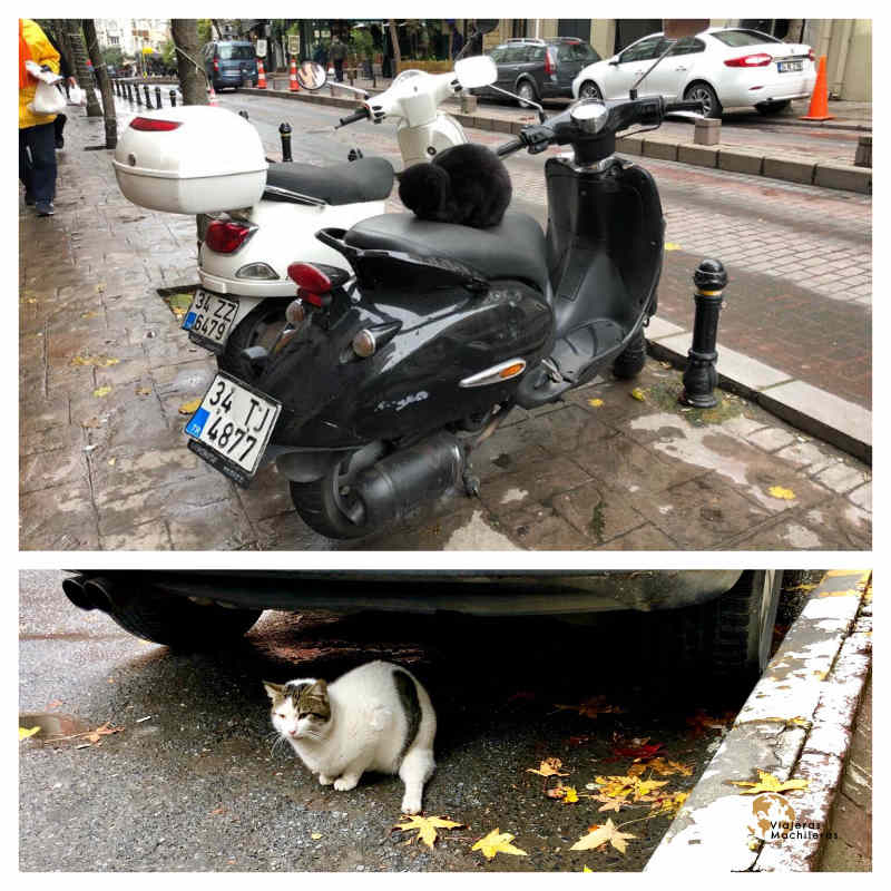 Gatas en la calle, Estambul